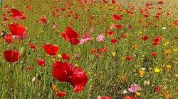 poppy meadow - mid july