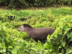 Tapir, we saw a few of these because of Alex's impressive eyes.