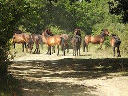 The Exmoor wild horses