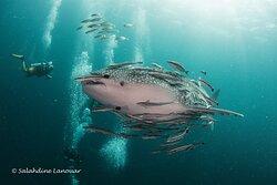 Our Divemaster Dan and a Whaleshark at Sail ROck