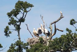 The stars of the site at the moment: white storks have bred here:the first time in centuries in the UK