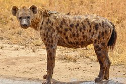 Hyänen immer nur als Einzelgänger angetroffen