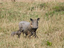 Did you know that each Warthog Piglet has it's own exclusive teat to suckle from. Cool sighting of this Mother Warthog while in the Masai Mara with Expedition Kenya Safari