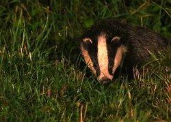Badger seen Friday August 21st 2
