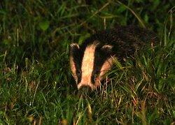 Badger seen Friday August 21st 3