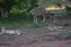 april 2019 cheetah with cubs