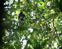 Yellow-cheecked gibbon male