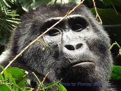 Today I became the second tourist to track the Mountain Gorillas in Bwindi Impenetrable National Park (Buhoma) since Covid-19.  It was a satisfactory experience ever. Words and pictures can't really explain it all, the best way to do so is by doing the trekking.  Uganda is now open for tourists and I proved it myself by tracking the Gorillas. Thanks to the great Guides, Trackers and Staff for the hospitality and care they showed me today.  It's time to book your post-COVID-19 Safari with us.