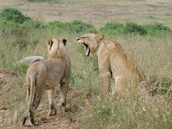 African Lioness sighting at Nairobi National Park during our Game Drive.