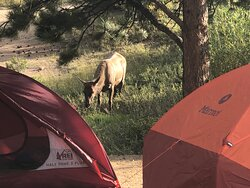 Elk cow visited right after we set up camp.  The herd was several hundred yards away, but the entire herd wandered through our campsites in the middle of the night.  (no pictures of that).