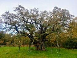 The Major English Oak - Sherwood Forest, Notts. (28/Oct/20).