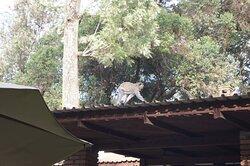 Les singes rodent à l'heure du petit déjeuner :-)