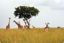 Giraffes in northwestern Uganda.