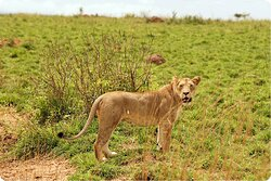 A female lion beside our vehicle.