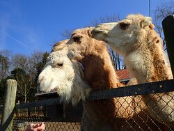The llamas loved to be fed too!