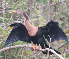 Anhinga drying its wings in the trees.