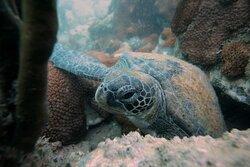 Tartaruga verde num dos nossos mergulhos de batismo!