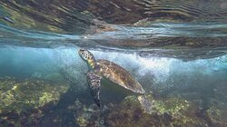 Tartaruga voltando na superfície para respirar