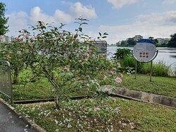 vinca shrub flowers