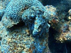 Octopus die een kreeft eet