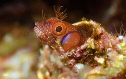 Have you ever seen tube blennies?