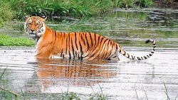 Magnificent creature in their own habitat at chitwan National Park, it may chance to see Royal Bengal tiger at walking safari with our experience naturalist..