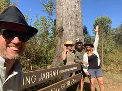 The King Jarrah tree a magnificent speciman
