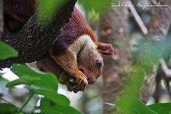 Giant Malabar Squirrel