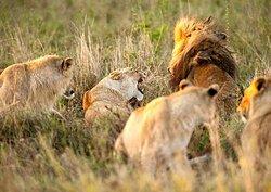 """ Classic guided tour to Serengeti """