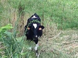 Azores happy grazing cow.