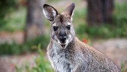Friendly Wallaby