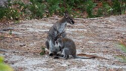 Friendly Wallaby with Joey