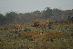 Lions in the Ngorongoro crater, Nov 2020 Safari with Sunny Safaris