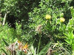 ...yellow proteas
