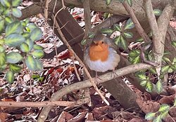 Out on a New Years Eve walk, this Robin was as interested in us as we were with him. Best wishes for a good 2021 to everybody.