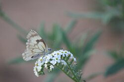 Pioneer Cape White Butterfly on a String of Star Flower