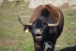 Madrid guided visits in a brave bull ranch