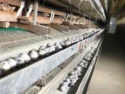養鶏場内部_1 / Inside Poultry Farm_1