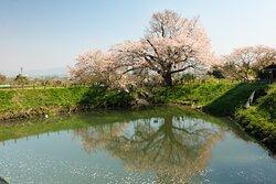 樹齢100年を超えた神秘的な桜の木です。