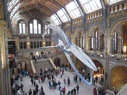 Esqueleto de ballena azul.