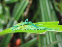 Stick insects in Dubuji boardwalk