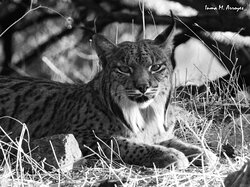 Lince ibérico Sierra Morena (Jaén) / Iberian lynx Sierra Morena (Jaén)