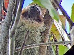 Sloths. Pura Vida!