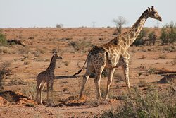 Giraffe and her calf on the reserve