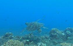 Une belle tortue au Cap Lahoussaye