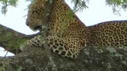 On our last day we spotted the big Leopard 1 hour before our flight!!