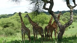 The giraffes mainly held their distance but were amazing to see.