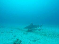 Bullshark dive