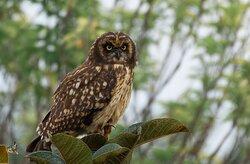 Asio flammeus - Short Eared Owl - Bogota Birding & Colombia Wildlife Tours A great day with for birdwatching!!! www.bogotabirding.com
