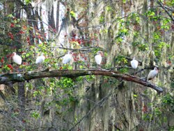 Loved this one of the Ibis hanging out on a branch overhanging over the river.
